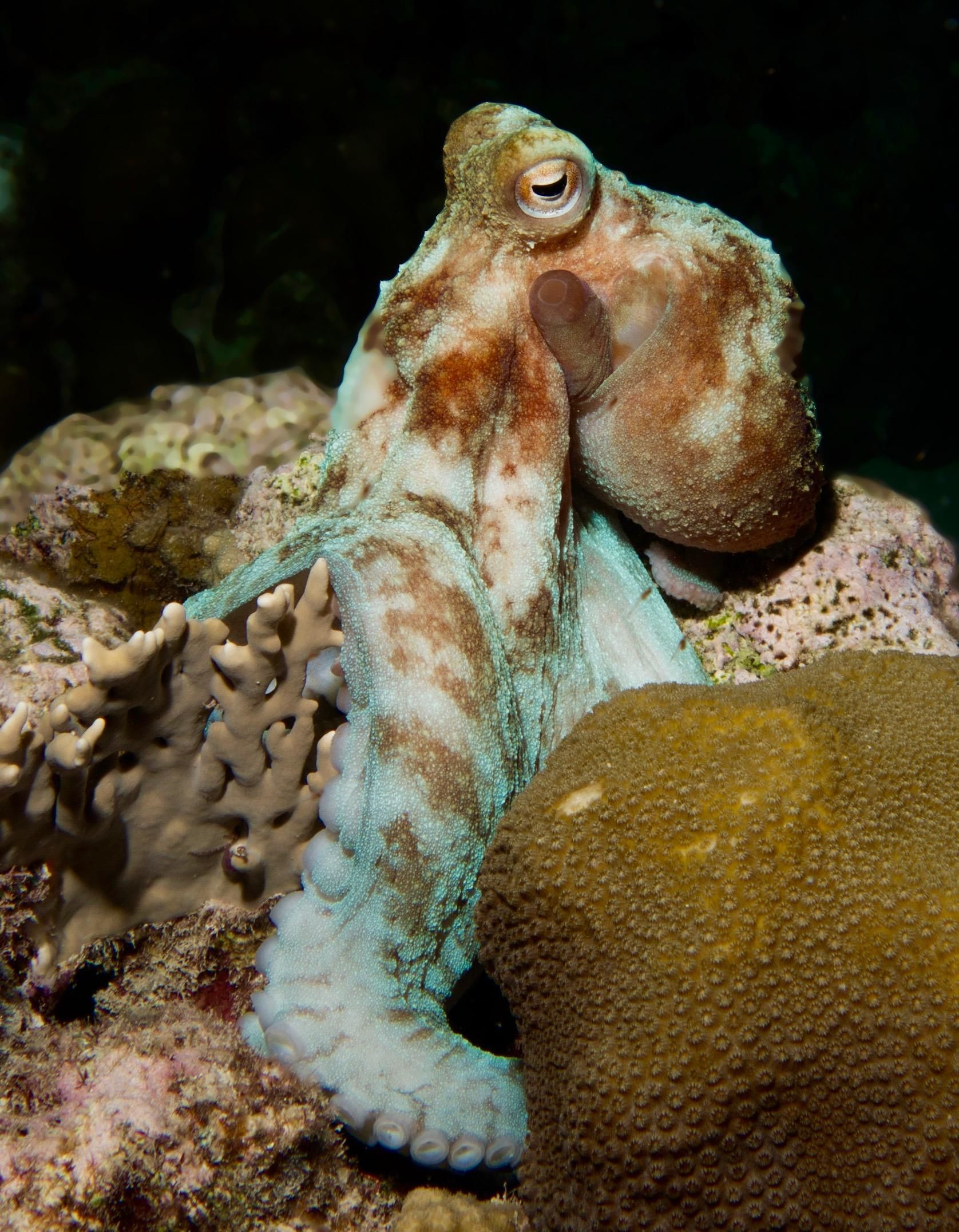 Find Octopuses during Night Dive in Cayman - Indigo Divers