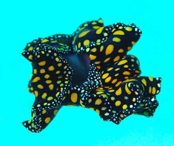 Leopard Flatworm (swimming)