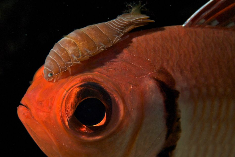 Soldierfish with Isopod (parasite)