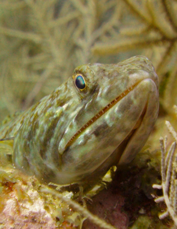 Sand Diver Lizard Fish