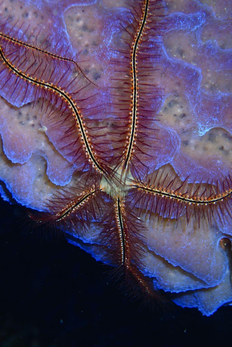 Sponge Brittle Star on Azure Vase Sponge