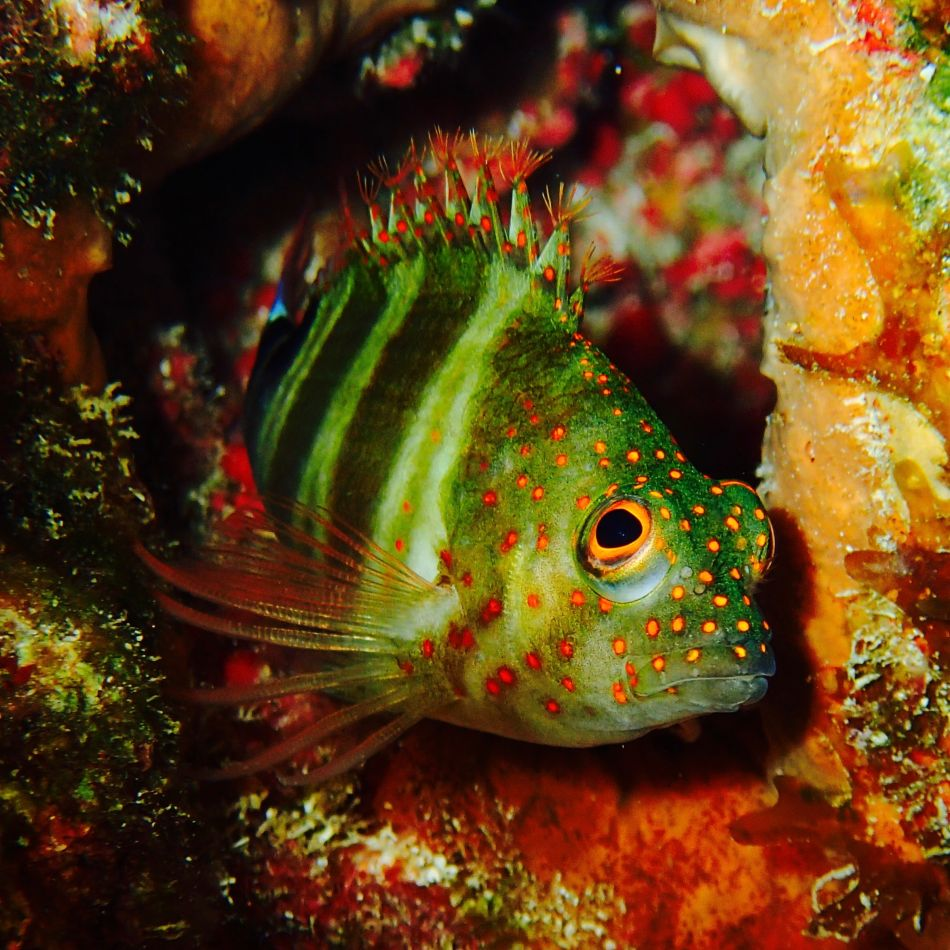 Red Spotted Hawkfish