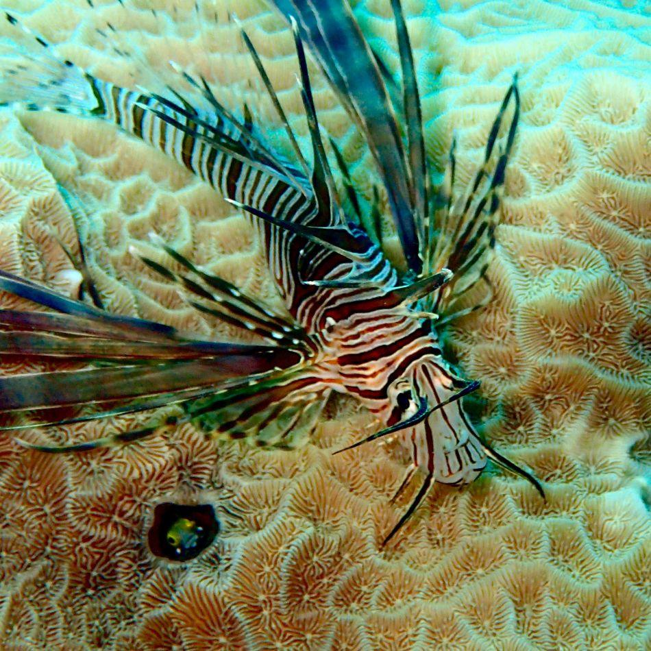 Juvenile Red Lionfish