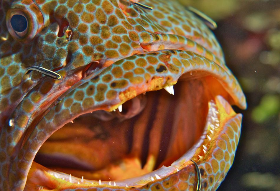 Tiger Grouper at a cleaning station