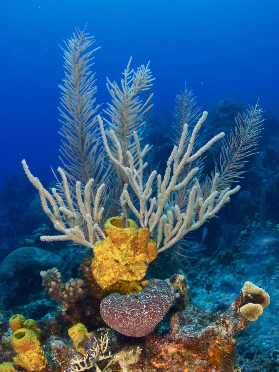 Yellow Tube Sponge, Sea Whips & Sea Rods