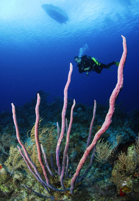 Diver & Ropey Sponges