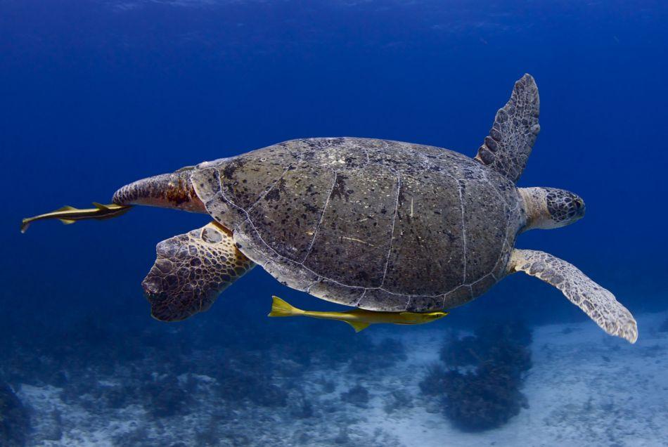 Large Male Green Sea Turtle