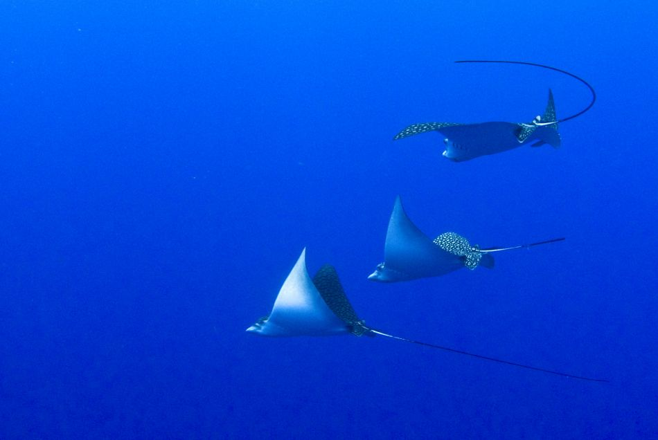 Trio of Spotted Eagle Rays