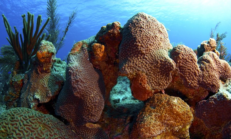 Boulder coral formations (great star coral)