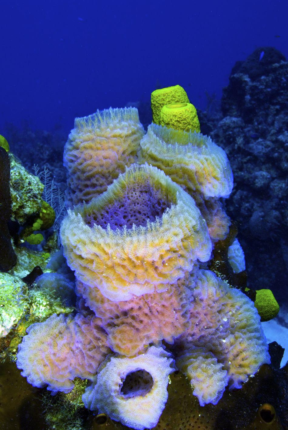 Azure Vase Sponges